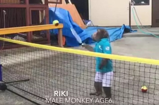 6-year-old APE becomes the new champion of tennis, but not everyone is amused (photos)