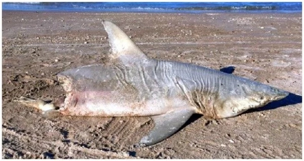 HALF-EATEN shark washes ashore and wildlife experts are baffled (photos)