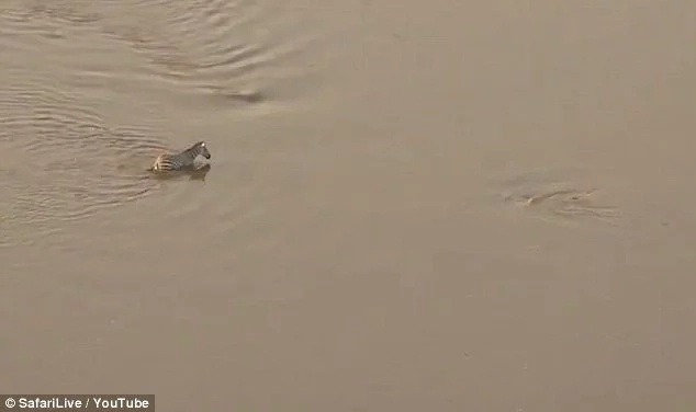 Chilling footage of zebra escaping from jaws of croc only to be munched by lionesses goes viral