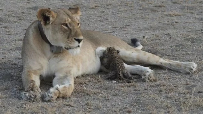 Breathtaking! Lioness nurses injured baby leopard