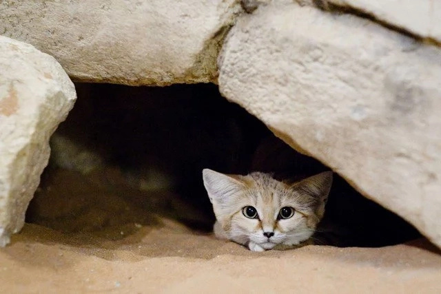 The rare sand cat has been captured on camera at last!