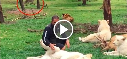 Amazing video of heroic tiger saving a zookeeper from being eaten by leopard