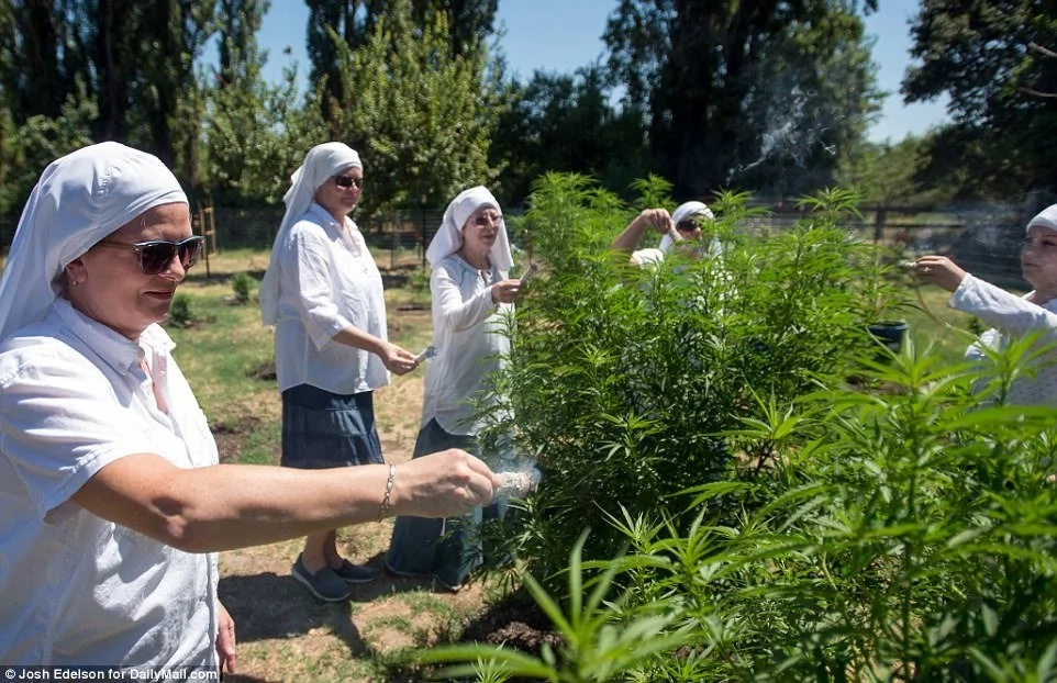 Members of Sisters of the Valley inspect their marijuana plant. Photo: Daily Mail/Josh Edelson