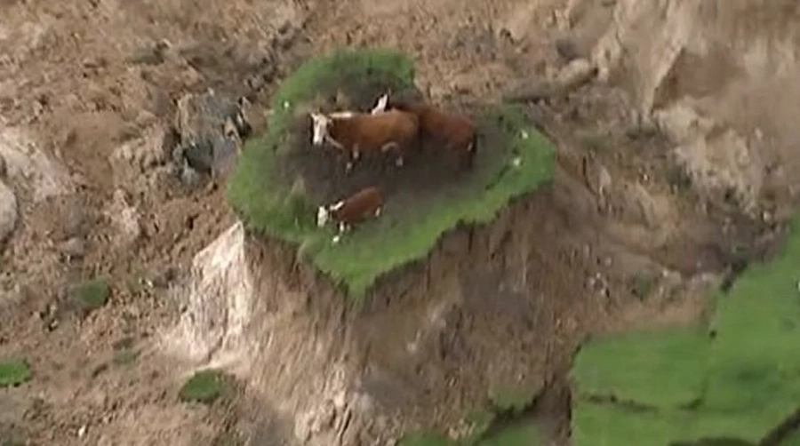 3 stranded cows successfully rescued after 7.8 quake