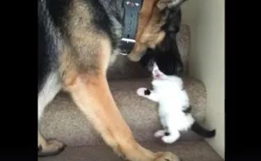 VIDEO: Big dog 'eats' a little kitten