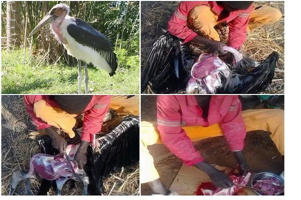 Man caught on camera slaughtering Marabou stork