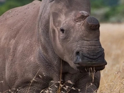 Looking for love! Kenya's last male northern white rhino, Sudan, joins dating application