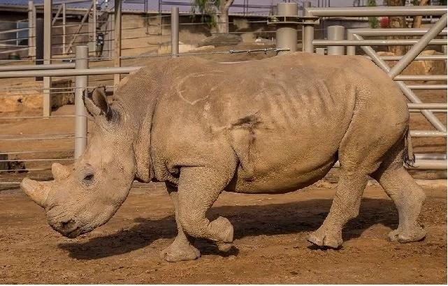 Se salvó: Fragmento de bala fue removido de un rinoceronte blanco herido por cazadores