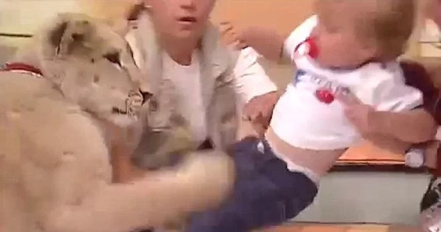 Lion attacks a little baby on Mexican TV in shocking footage