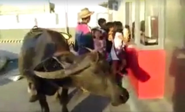 Pinoy uses his carabao to order in a fastfood's drive thru