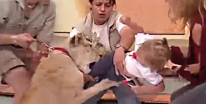 Lion pounces on baby on this Mexican show