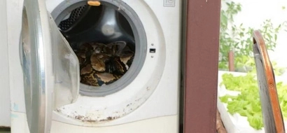 4 Meter Long Python Made A Man's Washing Machine Its New Home