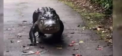This footage of a huge alligator shows the life of a truly happy creature (photos, video)