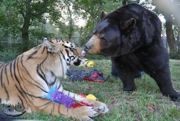 Watch how a lion, tiger and bear became inseparable friends. The most alluring thing you've seen in a while