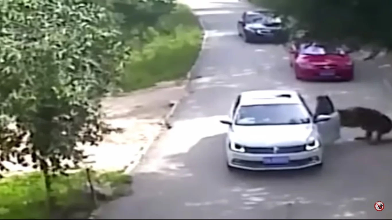 Tigers Maul Woman In Volkswagen To Death In 33 Seconds (Video)
