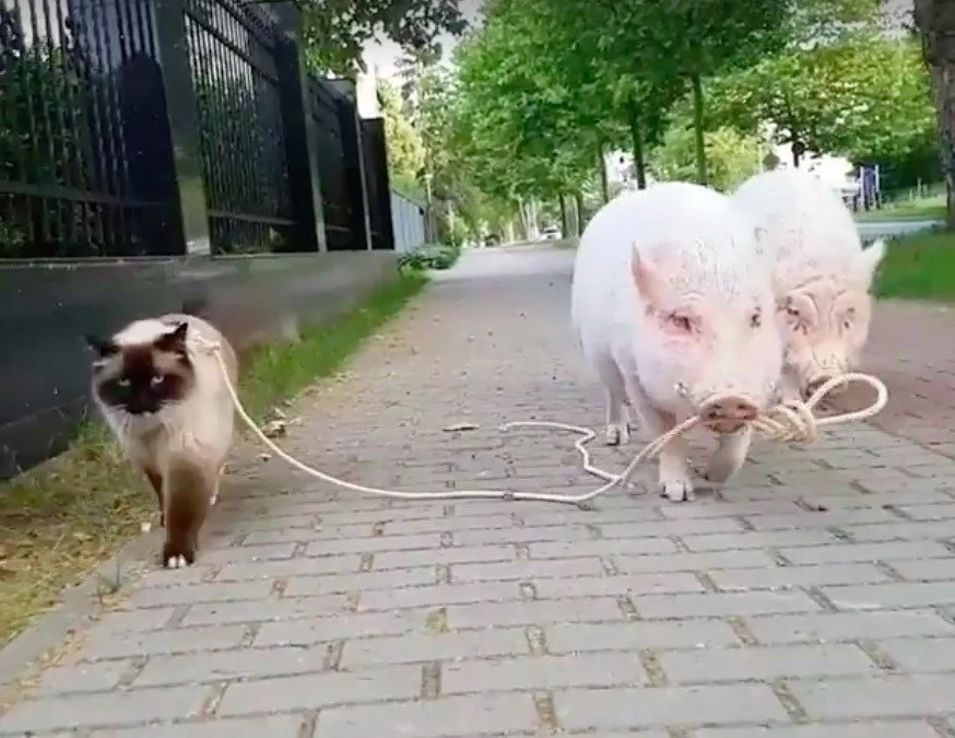 Watch this cute pet video of a pig walking a cat!