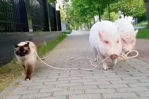 Watch this cute video of a cat walking a pig! Or is it a pig walking a cat?