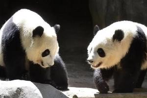 Masyadong nanibago! These US-born pandas are experiencing culture shock as they return to China