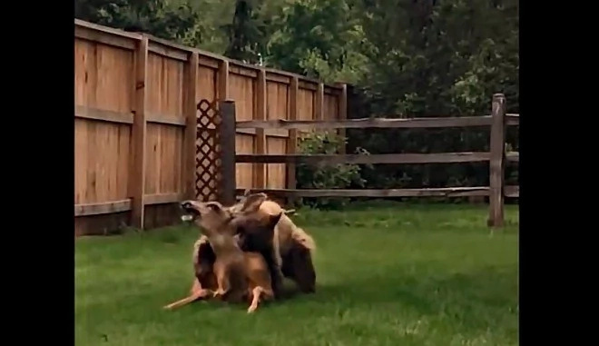 Bear mercilessly kills deer screaming in agony (Video)