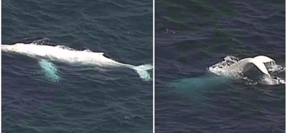 Incredible sight! Rare albino whale is spotted in Australia, stunning watchers around the world