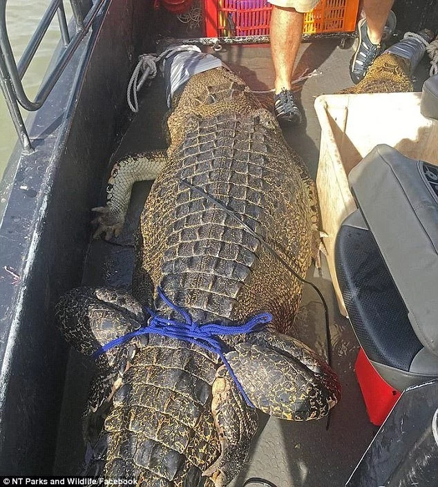 Giant 4.2-meter crocodile caught in popular holiday fishing spot (photos)