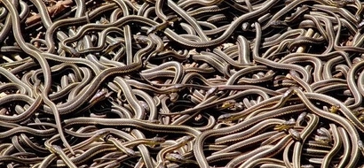 Man wakes up in horror to find 150 snakes crawling around him (photos, video)