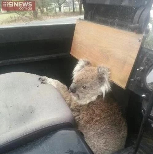 #KoalaTheftAuto. This amusing animal really steals the car for hilarious reasons