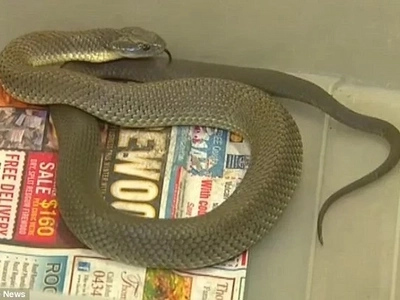 Deadly Tiger Snake Discovered Hiding In A Melbourne Bin