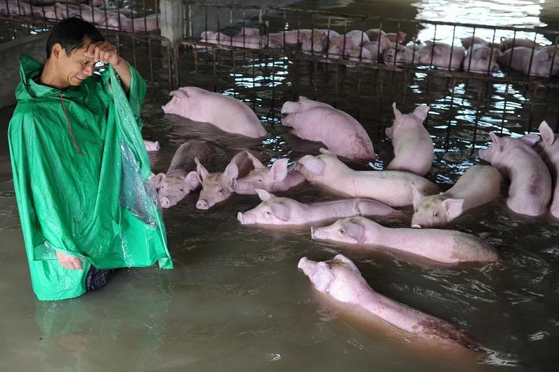 Photos of crying chinese farmers go viral, saving 6000 pigs from drowning