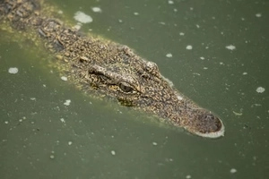 "Locals ""milk"" 20 crocodiles to death for their blood, believed to cure HIV and diabetes"