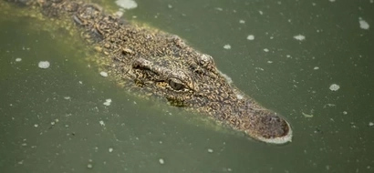 """Locals """"milk"""" 20 crocodiles to death for their blood, believed to cure HIV and diabetes"""