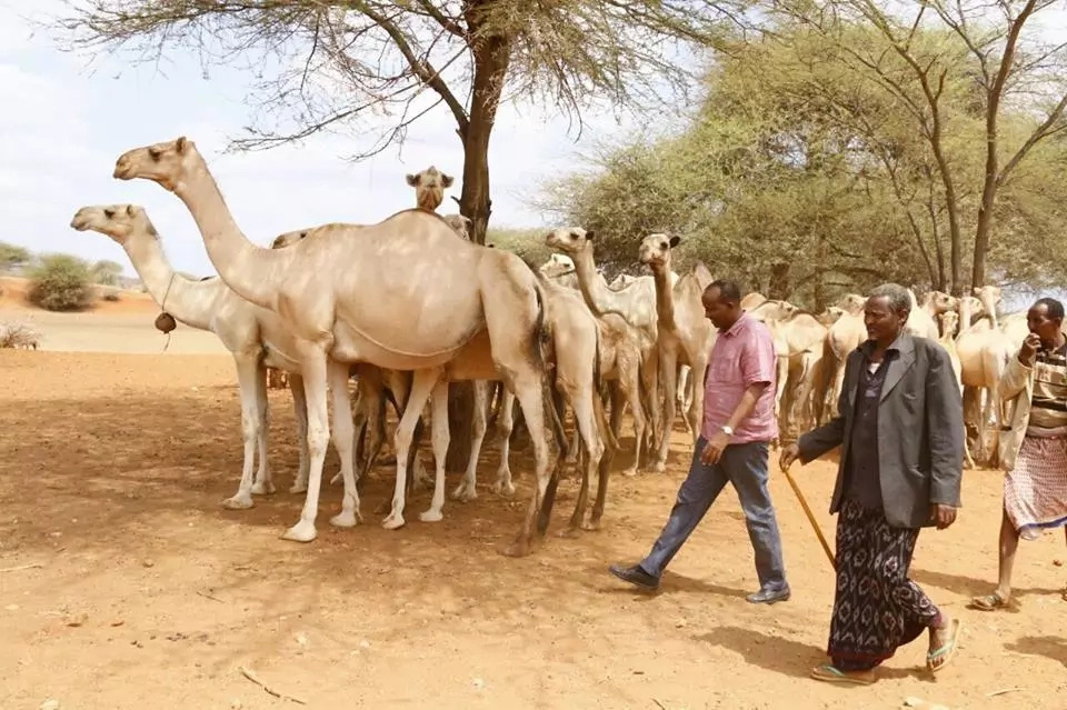 Aden Duale drinks milk straight from a camel