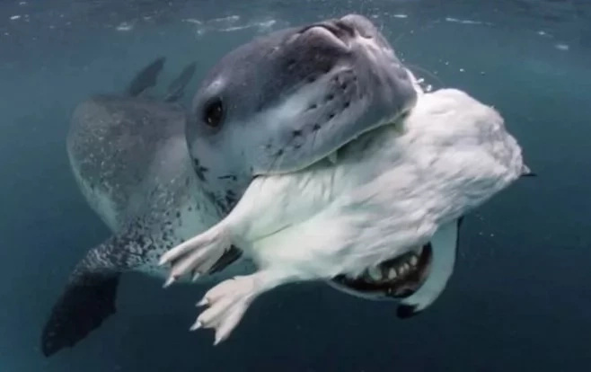 Este leopardo marino intenta alimentar al fotógrafo con pingüinos