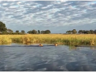 Brotherly love! Lion fights huge CROCODILE to save his brother while crossing river in Africa (photos, video)