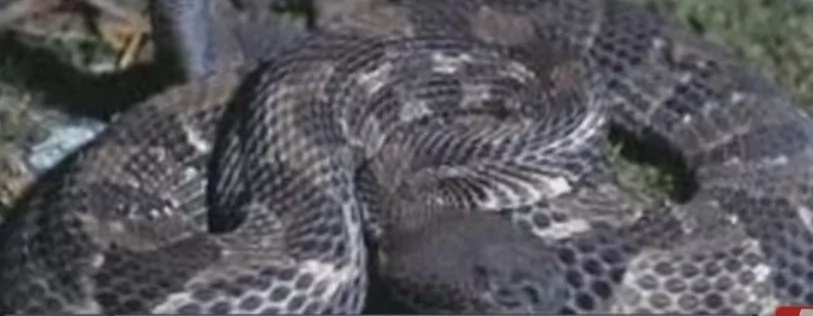 Fire Engineer Bitten By DECAPITATED Snake