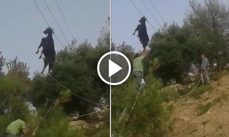 ¡Misterio en Grecia! Cabra aparece colgada de los cables de electricidad