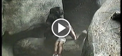 Watch giant Gorilla saves 3-year-old boy's life after he fell into her pit