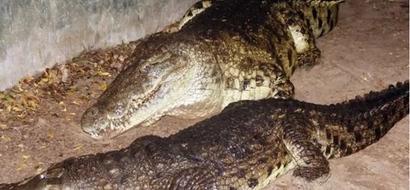 LOL: Kenya's oldest crocodile set to wed two ladies at Mamba village