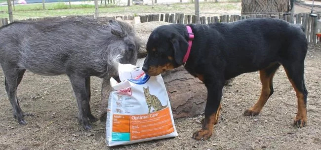 PHOTOS: Warthog pig and Rottweiler dog become BFFs