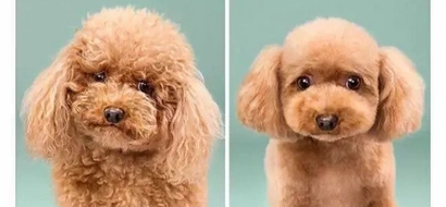 [IN PHOTOS] Before and after: 8 cutest dogs and their adorable haircuts