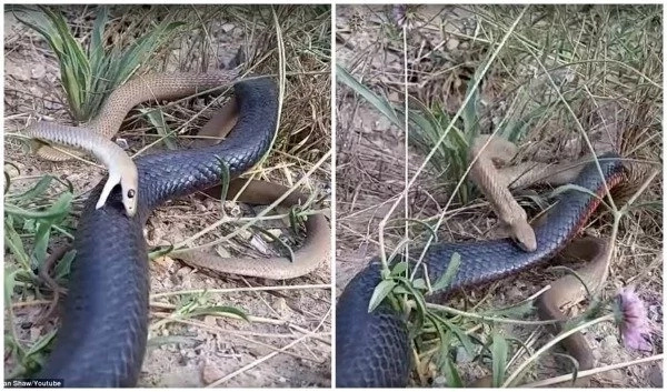 Epic battle! See two of the world's deadliest SNAKES fighting to death (photos, video)