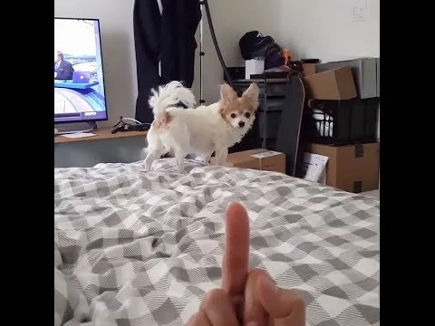 If you show your middle finger to this dog it will bite it clean off!