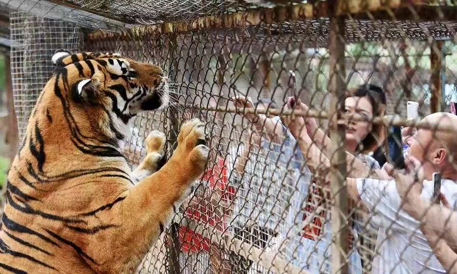 Siberian Tigers kill one, wounds another in Chinese park
