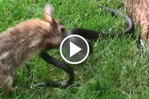 Epic moment rabbit mom goes berserk on snake that attacked her little babies