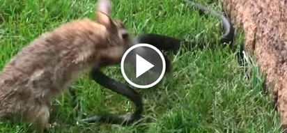 Epic moment rabbit mom goes berserk on snake that attacked her little babies