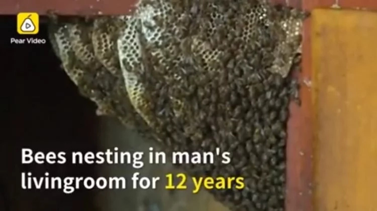 Implausible! Meet the family which has been living with an open beehive in their living room for 12 years