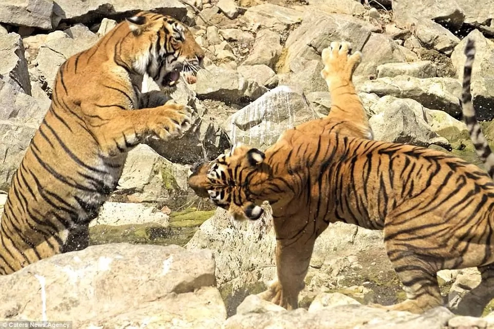 The defeated tigress retreated, leaving the victor to claim the watering hole