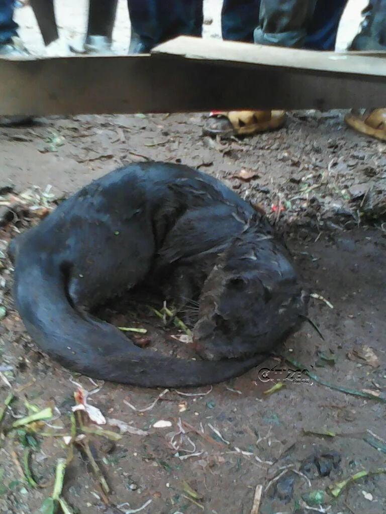Kawangware residents hunt, eat hairy strange animal