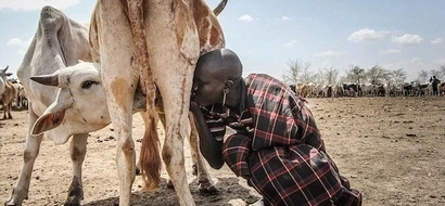 Sad! Karamojong people walk 10 HOURS a day, drink milk directly from cows' udders as drought bites (photos)