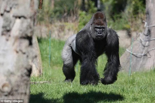 Este gorila escapó de su jaula y aterrorizó a todos